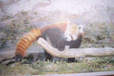 Our Red Panda adoption - MICE CENTRAL & EASTERN EUROPE